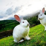 Morning Glory Bunnies_s_resize