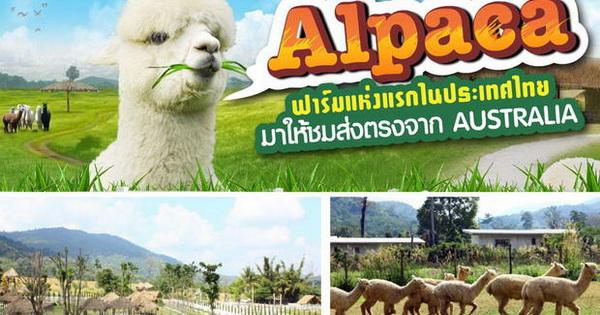 AlpacaHill ฟาร์มอัลปาก้าแห่งแรกในประเทศไทย (อ.สวนผึ้ง)
